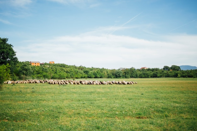 Long shot of sheep herd eating grass on pasture Free Photo