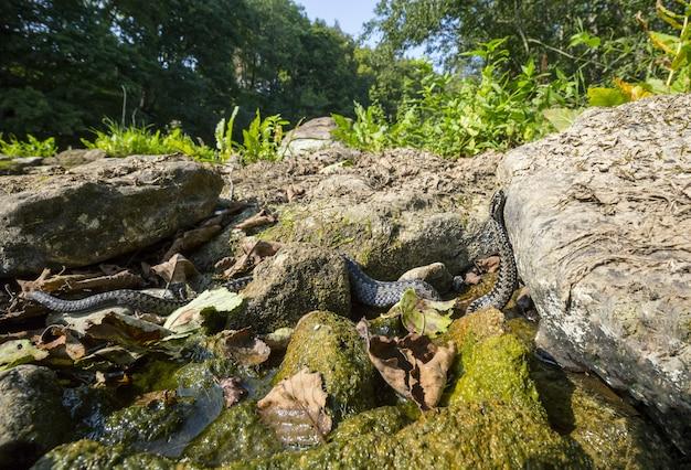 Lungo serpente che striscia sulla roccia vicino all'acqua Foto Gratuite