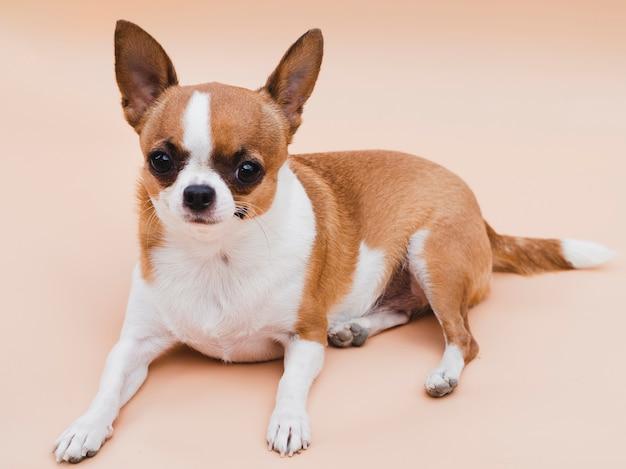 Chihuahua deitado em fundo cor de rosa menores raças de cachorros