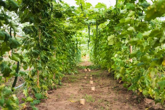 Длинная цуккини органическая ферма в сельской местности Premium Фотографии