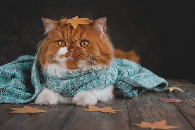 Longhair ginger cat in a blue knitted scarf surrounded by dry autumn leaves. Premium Photo
