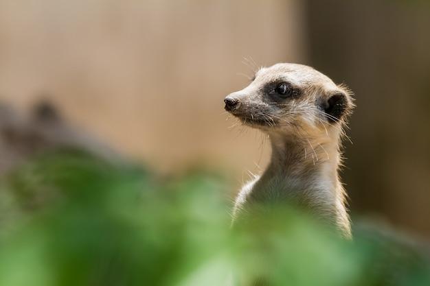 An looking meerkat Premium Photo