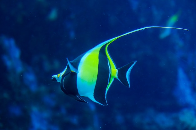 Looking through a clear glass a sea fish swimming in a tank Premium Photo