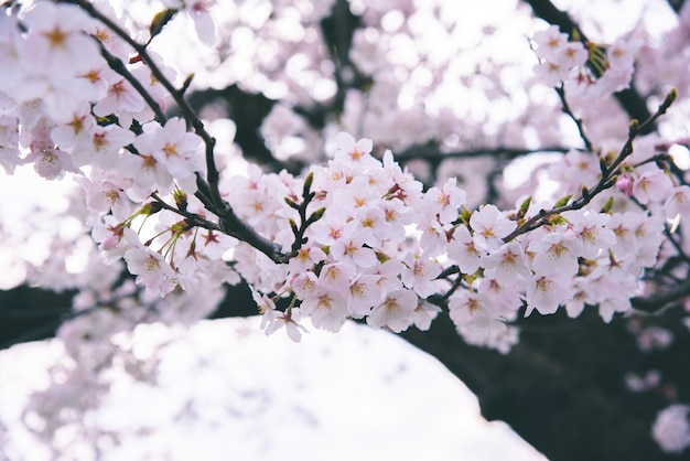 Looming sakura cherry blossom background in spring Premium Photo
