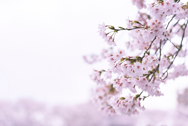 Looming sakura cherry blossom background in spring Premium Photo