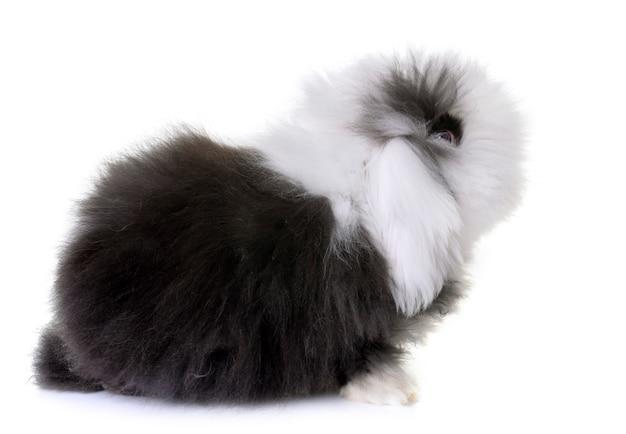 Lop-eared  rabbit in studio Premium Photo