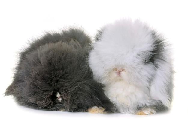 Lop-eared  rabbits in studio Premium Photo