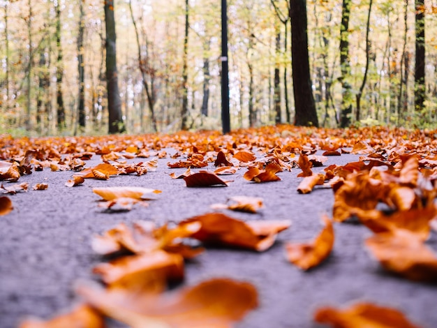 Lot of dry autumn maple leaves fallen on the ground surrounded by tall trees on a blurred background Free Photo