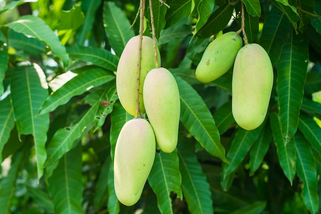 A lot of five mango on the tree in the garden. Premium Photo