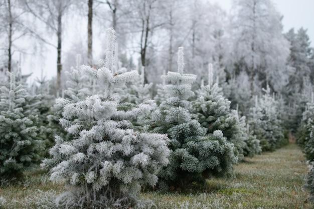 多くのモミの木がぼやけて背景に雪で覆われて 無料写真