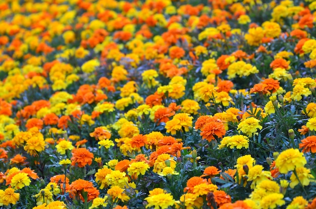 Lots of beautiful flowers in the garden. mexican, aztec or african marigold. tagetes erecta Premium Photo