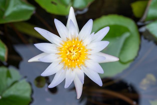 Lotus flower in pond photo free download lotus flower in pond free photo mightylinksfo