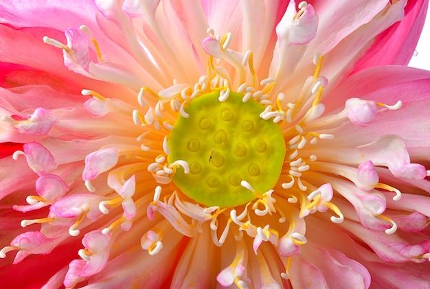 Цветок лотоса открылся крупным планом Premium Фотографии