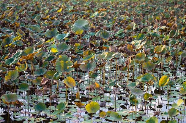 Lotus Flower Plantation Collecting At Morning Thailand Photo