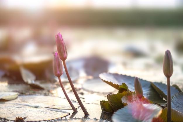 Lotus flower in pond. Premium Photo