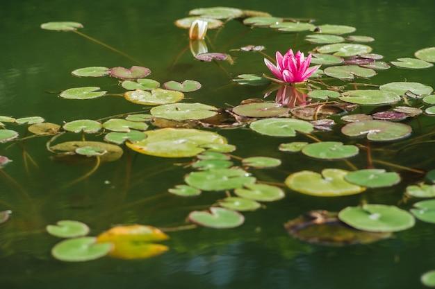 Lotus flower Premium Photo
