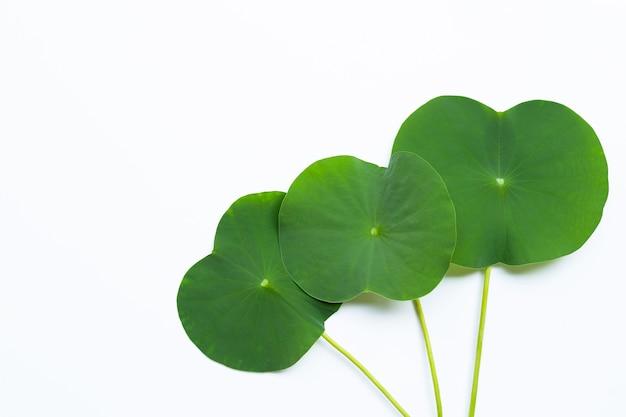 蓮の葉。上面図 Premium写真