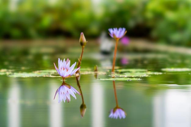 Lotus plant located in bandung, indonesia Premium Photo