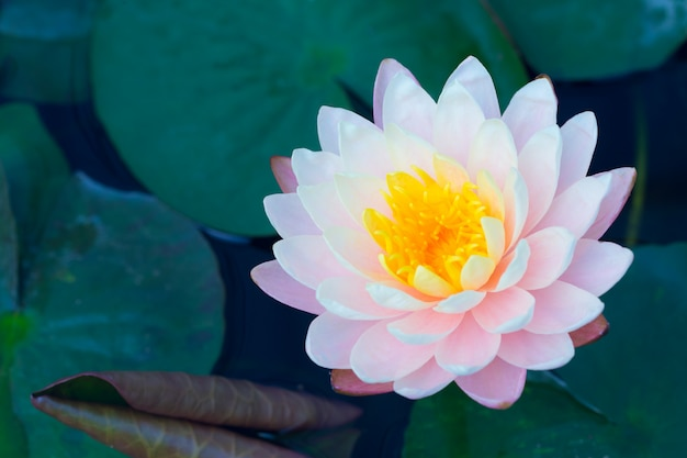 Lotus in pond pink color, beautiful nature calm Premium Photo
