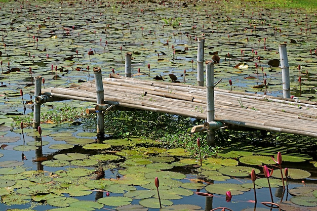 Lotus pond with a bamboo dock in the countryside of central thailand Premium Photo