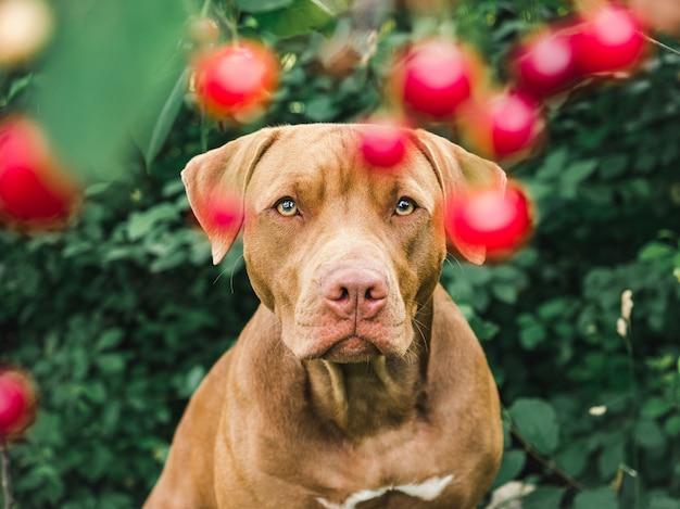 Симпатичный, симпатичный щенок шоколадного окраса. крупный план, дачный. дневной свет. концепция ухода, воспитания, дрессировки, воспитания домашних животных Premium Фотографии