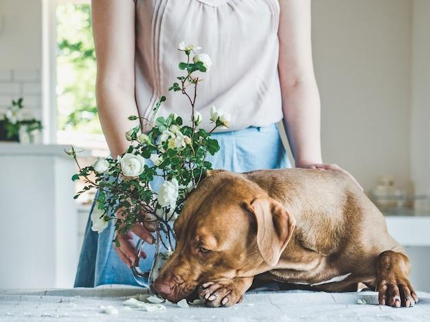 Симпатичный, симпатичный щенок шоколадного окраса. крупный план Premium Фотографии