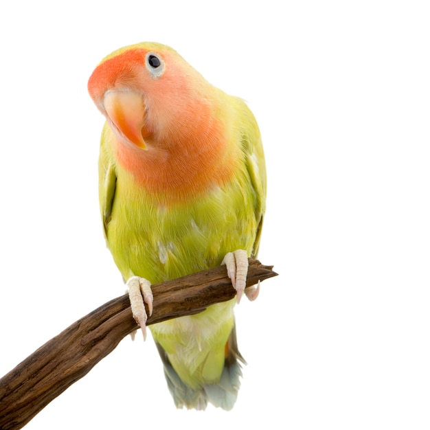 Love bird isolated Premium Photo