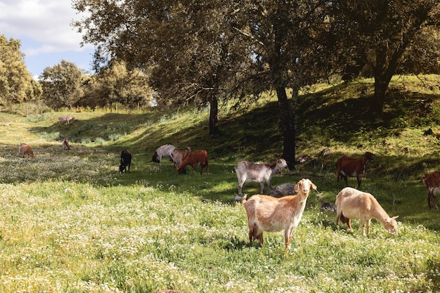 Lovely goats grazing grass in a landscape with green meadow in the morning Premium Photo