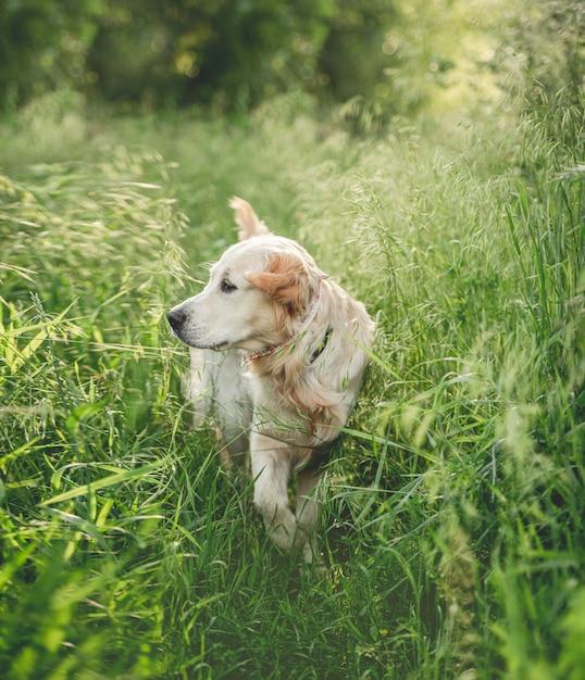 Прекрасный золотистый ретривер, прогуливаясь по траве Premium Фотографии