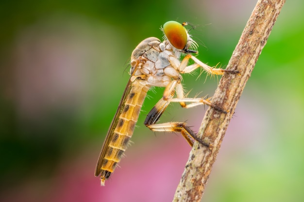 Lovely robber flies (asilidae) nature macro Premium Photo