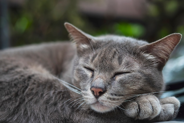 Lovely sleeping cat thai home pet take a nap on a car, domestic animal Free Photo