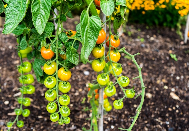 Lovely small cherry tomato plant with ripe and tasty tomatoes on it Premium Photo