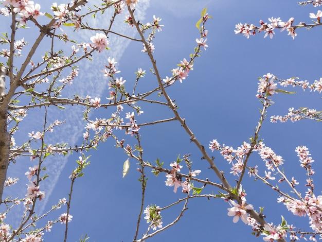 Primo piano di angolo basso del fiore di ciliegia sotto la luce solare e un cielo blu Foto Gratuite