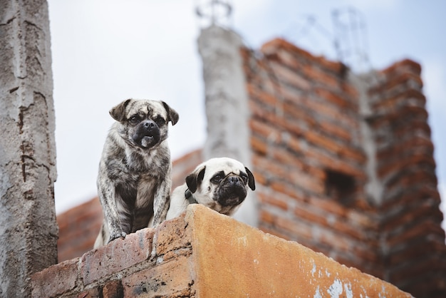 Low angle closeup shot of two cute pugs on the wall while looking down Free Photo