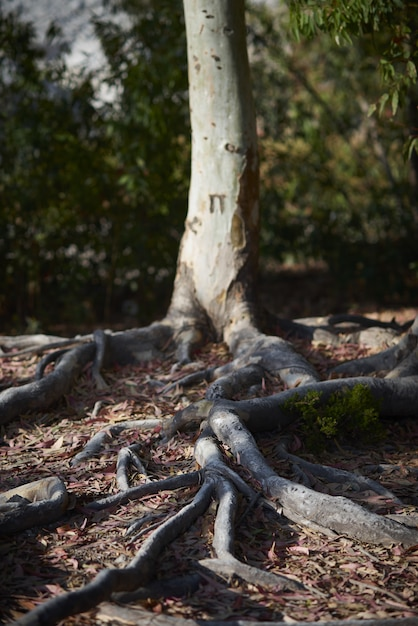 Low angle closeup of tree roots in the ground surrounded by leaves and greenery under sunlight Free Photo