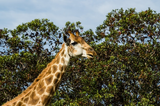 Inquadratura dal basso di una bella giraffa in piedi di fronte a splendidi alberi Foto Gratuite