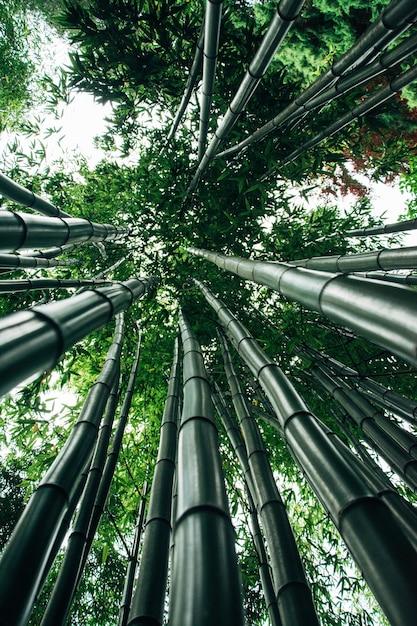 Inquadratura dal basso degli alberi di bambù giganti Foto Gratuite