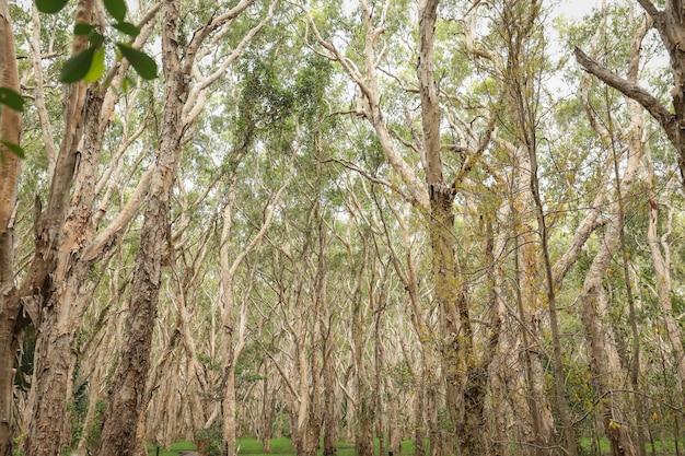 Inquadratura dal basso di alberi ad alto fusto mezzo nudo in una foresta Foto Gratuite