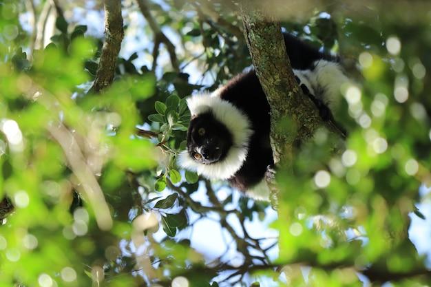 Inquadratura dal basso di un indri (una specie di primate) tra i rami di un albero Foto Gratuite