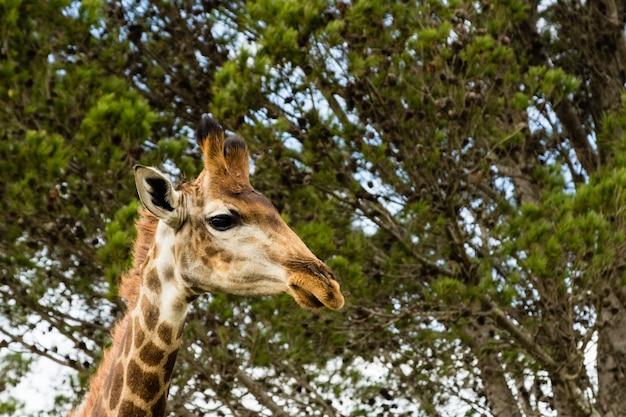 Снимок под низким углом красивого жирафа, стоящего перед красивыми деревьями Бесплатные Фотографии