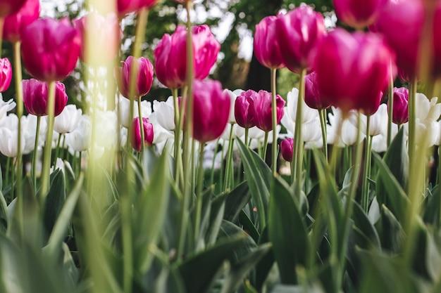 野原に咲く色とりどりのチューリップのローアングルショット 無料写真