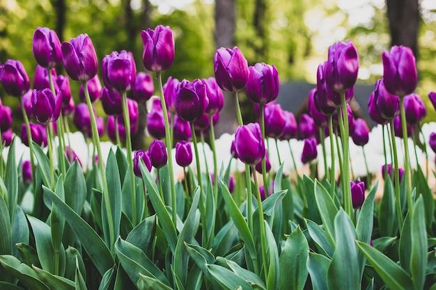 Низкий угол снимка фиолетовых тюльпанов, цветущих в поле Бесплатные Фотографии
