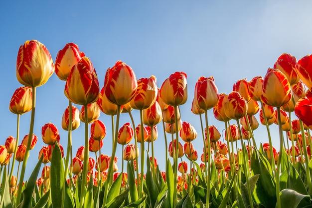青い空と赤と黄色の花畑のローアングルショット、 無料写真