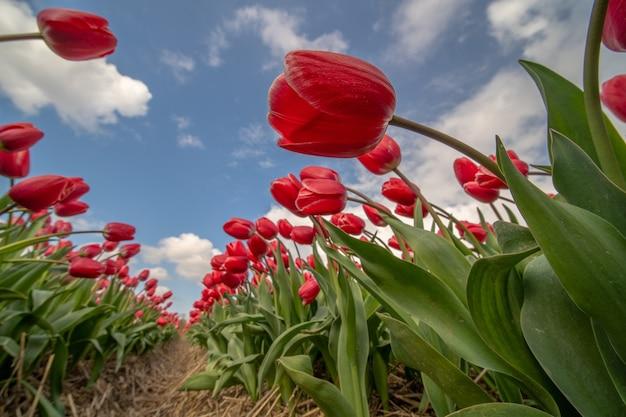日光と青い曇り空の下のフィールドに赤いチューリップのローアングルショット 無料写真