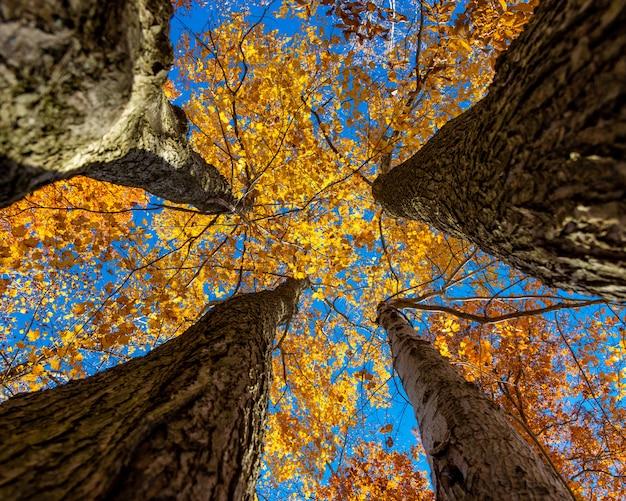네 개의 노란 잎이 달린 나무의 두꺼운 나무 줄기의 낮은 각도 샷 무료 사진