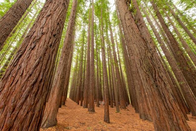 Низкий угол снимка деревьев в лесу секвойи Бесплатные Фотографии