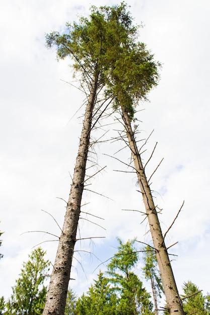 Inquadratura dal basso di due alberi ad alto fusto in un cielo nuvoloso bianco in background Foto Gratuite