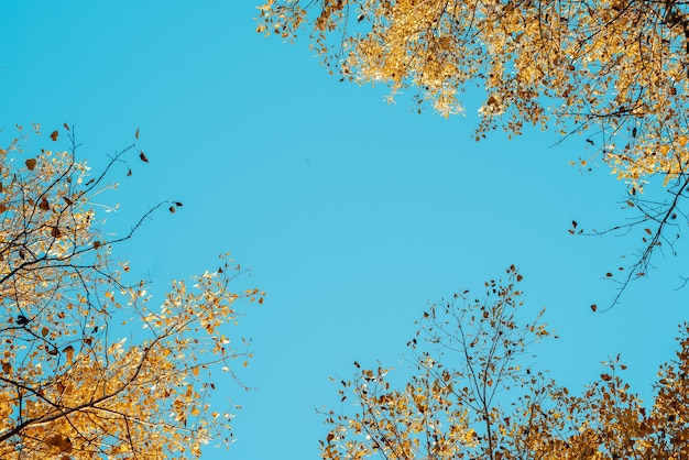 Low angle shot of yellow leafed trees with a blue sky in the background Free Photo