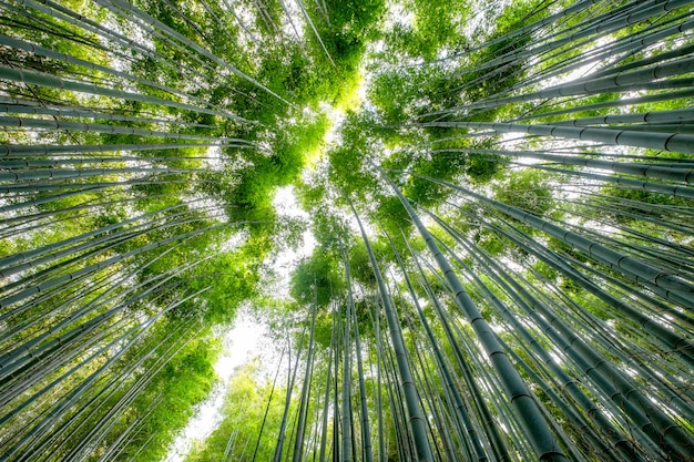 Low angle view beautiful green bamboo forest Premium Photo