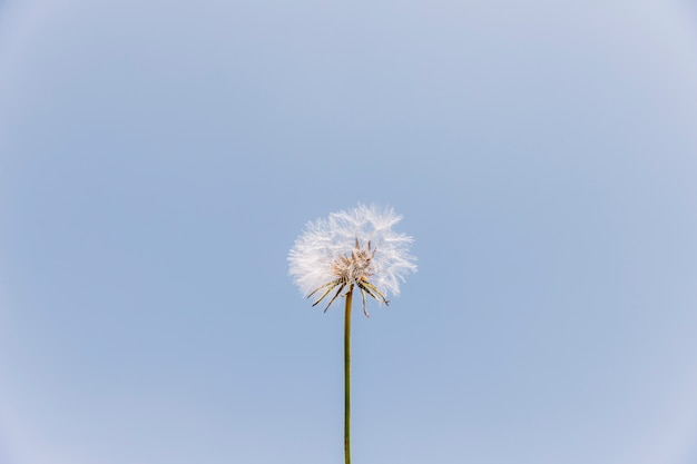 Low angle view of a dandelion flower against clear sky Free Photo